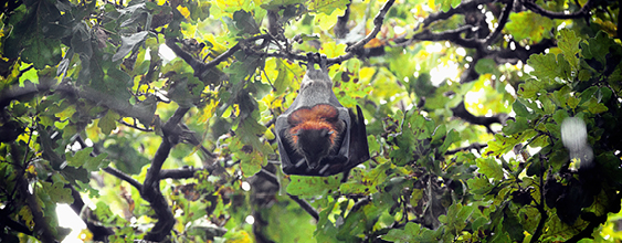 thn-grey-headed-flying-fox
