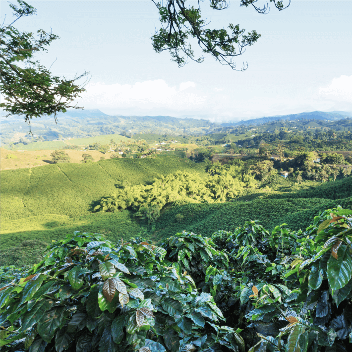 Colombian Coffee Landscape