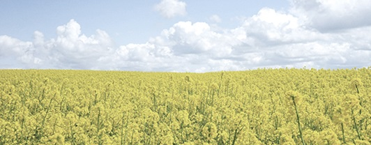 Open field of crops that can be converted to biodiesel under a blue sky